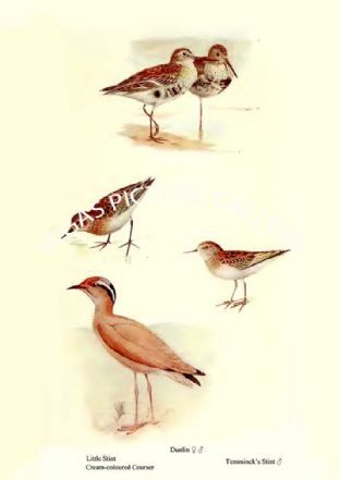 Little Stint, Cream-coloured Courser, Dunlin & Temminck's Stint